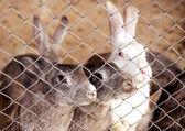 在一个笼子里的兔子 — 图库照片