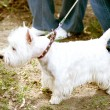 White dog on a leash — ストック写真