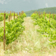 raws of grape vines at vineyard — Stock Photo