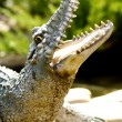 Close up of Crocodile head — Stock Photo