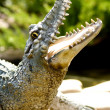 Close up of Crocodile head — Stock Photo #30983231