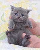 Krásné skotské mladá kočka — Stock fotografie