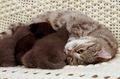Scottish cats — Стоковое фото