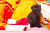 Scottish cat with hat of santa — Stok fotoğraf