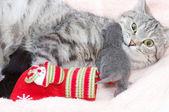 Güzel bir i̇skoç kedi — Stok fotoğraf