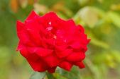 美丽的红玫瑰 — 图库照片