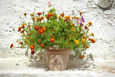 Garden flower pot with growing tagetes — Stock Photo