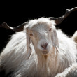 White kashmir (pashmina) goat from Indian highland farm — Stock Photo