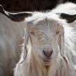 White kashmir (pashmina) goat from Indian highland farm — Stock Photo #13709096