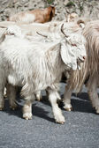 White kashmir (pashmina) goat from Indian highland farm — Stok fotoğraf