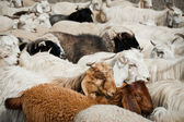 Herd of sheep and kashmir goats — Stock Photo