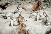 Herd of kashmir goats — Stock Photo