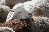 Kashmir goat — Stock Photo