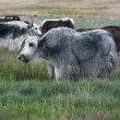 Yak grazing in meadow at Himalayan mountains - Stock Photo