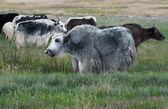 Yak grazing in meadow at Himalayan mountains — Stock Photo
