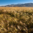 Stock Photo: Barley field at mountains range
