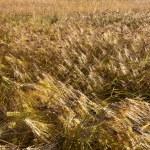 Barley field at bright sunny day — Stock Photo #15928929