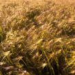 Barley field at bright sunny day — Stock Photo #15928931