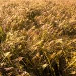Barley field at bright sunny day — Stock Photo #15928931