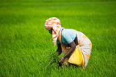 Indian woman works at rice fiel — Stock Photo