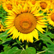 Stock Photo: Sunflower field background