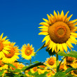 Sunflower field background under blue sky — Stock Photo #22483263