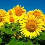 Sunflower field background under blue sky — Stock Photo #22483267