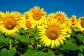 Sunflower field background under blue sky — Stock Photo