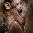 Stock Photo: Portrait of small baby macaque monkey breast feeding