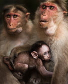 Family portrait of macaque monkeys in wild — Stock Photo