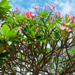 Pink flowers of tropical tree frangipani (plumeria) - Stockfoto