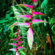 Stock Photo: Beautiful pink heliconia flower growing in tropical forest