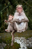 Monkey family. Mother and baby in bamboo forest. South India — Stock Photo