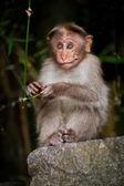 Bambu ormanında arıyor küçük maymun. Güney Hindistan — Stok fotoğraf