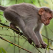 Small macaque monkey walking in bamboo forest. Animal in wild — Stock Photo