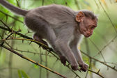 Small macaque monkey walking in bamboo forest. Animal in wild — Foto de Stock