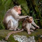 Macaco de macaca mãe limpar seu bebê na floresta de bambu — Foto Stock