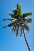 Coconut palm tree isolated over blue tropical sky — Stock Photo