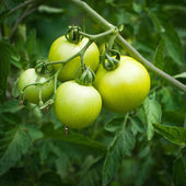Branch of new crop green tomatoes growing at outdoor garden — Stock Photo