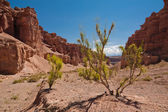 Desert plant shrub saxaul (haloxylon) growing among rocks — Stock Photo