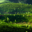 Stock Photo: Teplantation landscape. Munnar, Kerala, India