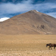 Wild horses at Himalaymountains . India, Ladakh — Stock Photo #34068497