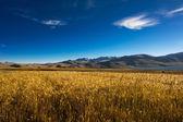 Barley field at Tso Moriri Lake. India, Ladakh — Stock Photo
