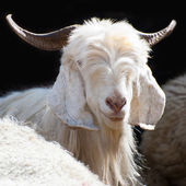 White kashmir goat from Indian highland farm — Stock Photo