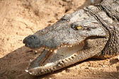 Сrocodile basking in the sun — Stock Photo