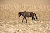 Wild horses at Himalaya mountains . India, Ladakh — Foto Stock