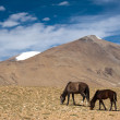 Wild horses at Himalaymountains . India, Ladakh — Stock Photo #34098895