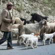 Stock Photo: Himalayshepherd leads his goat and sheep flock