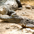 Crocodile basking in the sun — Stock Photo