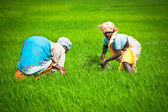 Indian woman works at rice field — Stock Photo
